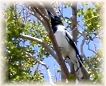 butcher bird in a Pride of India tree