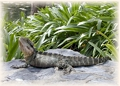 waterdragon lizard