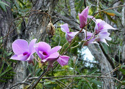 Picture Orchid Flower on Janri Designs  Queensland Orchids